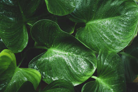 Close-up Water Drop on Homalomena Expedita Plant leaves Banque d'images
