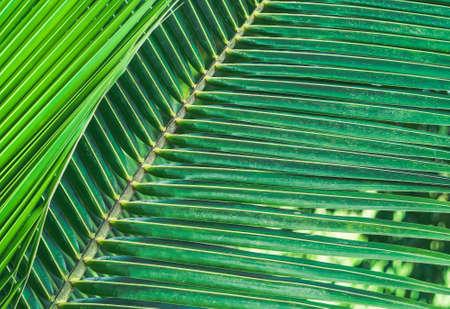 close-up green color coconut leaf Banque d'images