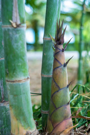 Bamboo shoots of bamboo sprouts can make food