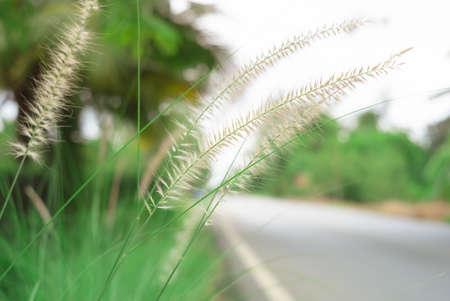 Pennisetum setaceum grass flower Banque d'images