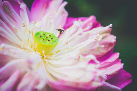 close up: Close-up Beautiful lotus flower