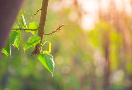 peepal tree: Beautiful Green Bo leaf on background with sunlight,Leaves of Buddhism concept Stock Photo