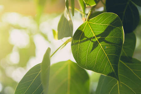 peepal tree: Beautiful Green Bo leaf on background with sunrise,Leaves of Buddhism concept