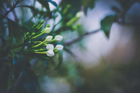 Cape Jasmine flowers on Vintage tone.