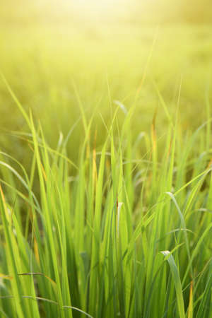 Lemongrass or Citronella grow in the vegetable garden, used as cooking spices and herbal medicine.