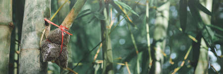 graft bamboo branch to be planted.banner background.