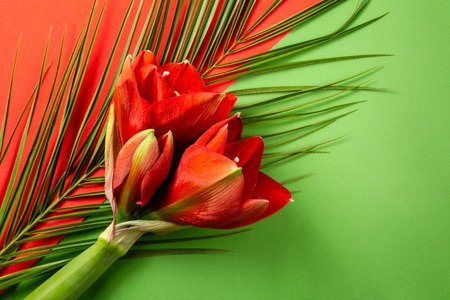 Red amaryllis flowers on bright red and green background Stock Photo