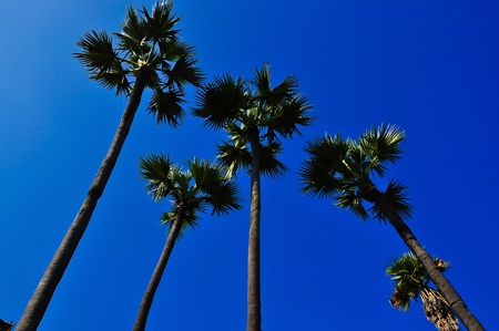 Sugar palm and blue sky photo