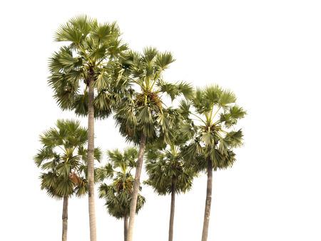 cambodian palm: Borassus flabellifer, asiatica Palmyra palma o Toddy palma o zucchero di palma o cambogiano palma