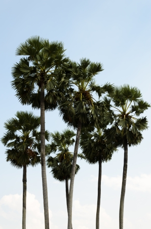 cambodian palm: Borassus flabellifer, Asian Palmyra palm or Toddy palm or Sugar palm or Cambodian palm Stock Photo