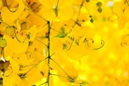 Flowers of Golden Shower Tree bloom in summer photo