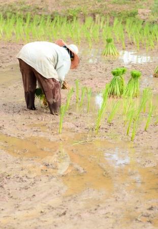 Thai farmer start plantings rice rice in water paddle photo