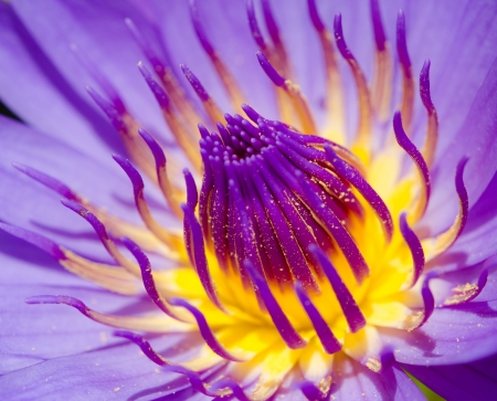Close up of pink water lily. photo