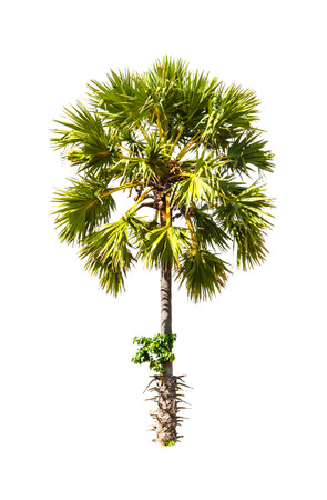 cambodian palm: Borassus flabellifer, known by several common names, including Asian Palmyra palm, Toddy palm, Sugar palm, or Cambodian palm, tropical tree in the northeast of Thailand isolated on white background