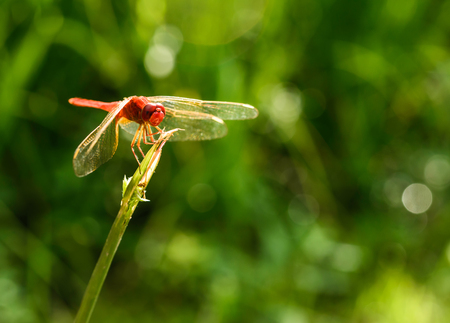 moustached: red dragonfly