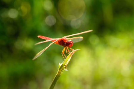 red dragonfly photo