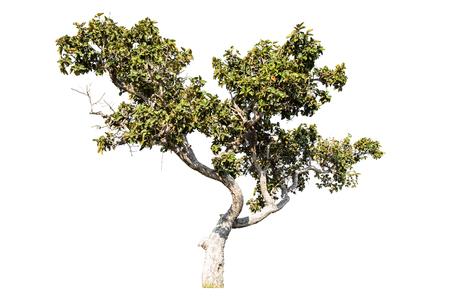 Tree isolated on white background Stock Photo - 24959220