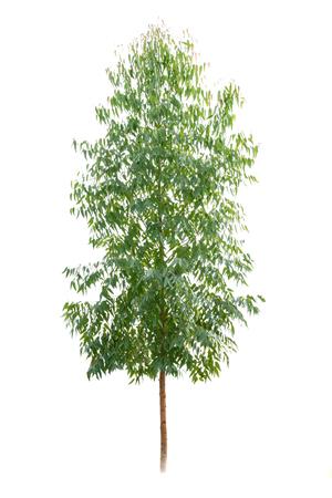 Eucalyptus tree isolate on white