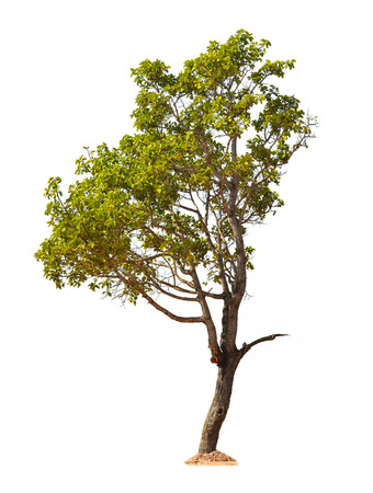 白い背景で隔離の木