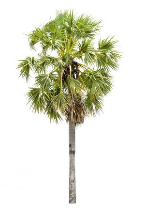 cambodian palm: Palma cambogiana, albero tropicale nel nord-est della Thailandia isolato su sfondo bianco Archivio Fotografico