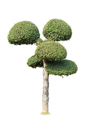 ebony tree: bonsai tree isolated on white