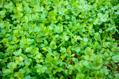 Coriander growing on farm