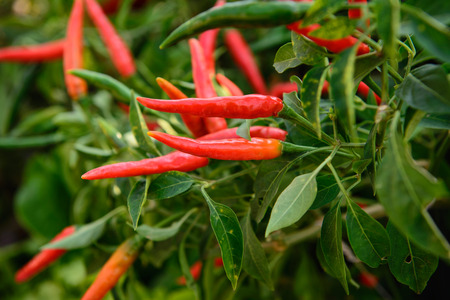 ripe red hot chili peppers on the plant photo