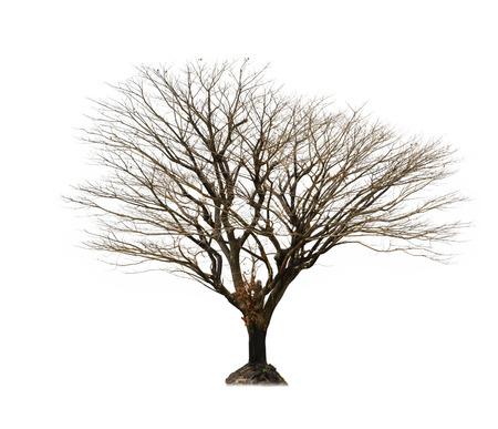 toter baum: Toter Baum mit weißen isoliert