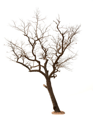 Dead tree isolated with white  photo
