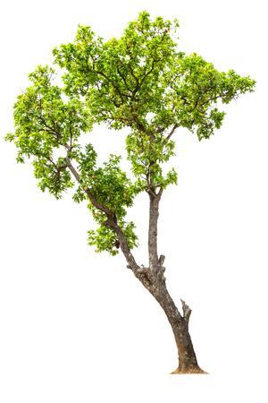 Tree isolated on white  photo
