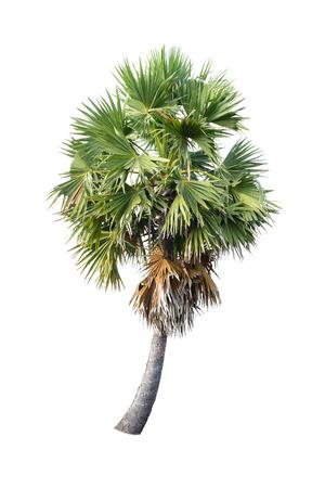 cambodian palm: Borassus flabellifer, conosciuto con diversi nomi comuni, tra cui Asian Palmyra palma, Toddy palma, zucchero di palma, o di palma cambogiano, albero tropicale nel nord-est della Thailandia isolato su bianco
