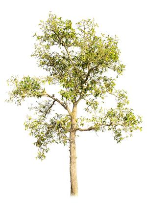 huge tree: Tree isolated on white