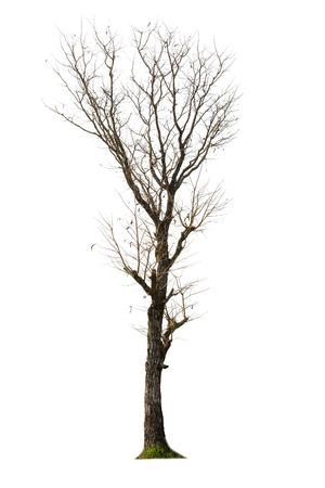 dead tree: Dead tree isolated with white background