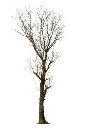 toter baum: Toter Baum mit weißem Hintergrund isoliert Lizenzfreie Bilder
