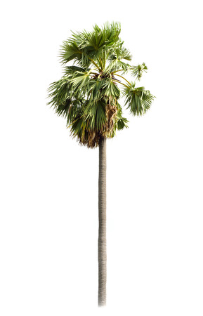 toddy palm: Borassus flabellifer, known by several common names, including Asian Palmyra palm, Toddy palm, Sugar palm, or Cambodian palm, tropical tree in the northeast of Thailand isolated on white background