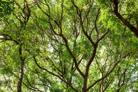 samanea saman: Tree for background Stock Photo