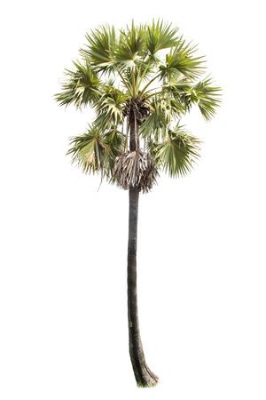 cambodian palm: Borassus flabellifer, conosciuto con diversi nomi comuni, tra cui Asian Palmyra palma, Toddy palma, zucchero di palma, o di palma cambogiana, albero tropicale nel nord-est della Thailandia isolato su sfondo bianco