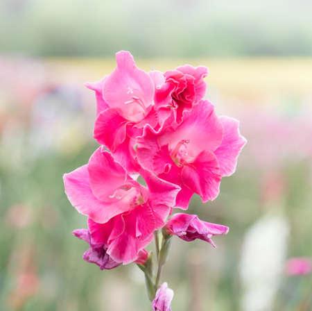 gladiolus: gladiolus flower in garden