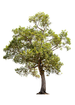huge tree: Tree isolated on white background