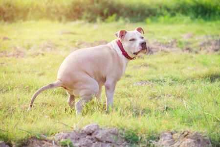 American Pitbull pup stront op grasgebied