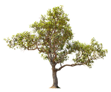 ecological environment: Tree isolated on white background