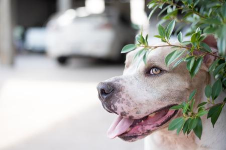 Pitbull Dog Sneak in the bush. Standard-Bild