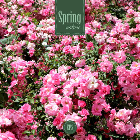 Spring nature background with pink roses Vector