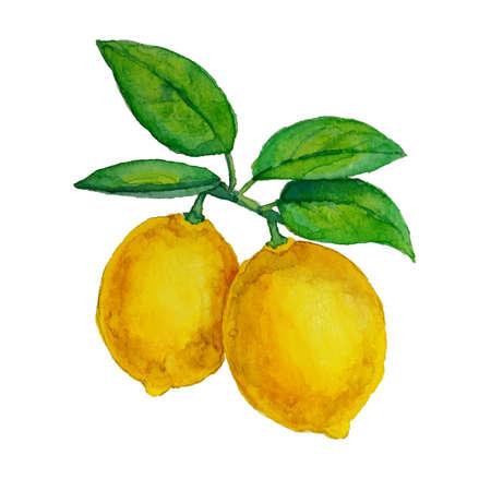 葉と枝にぶら下がって水彩画レモン  イラスト・ベクター素材