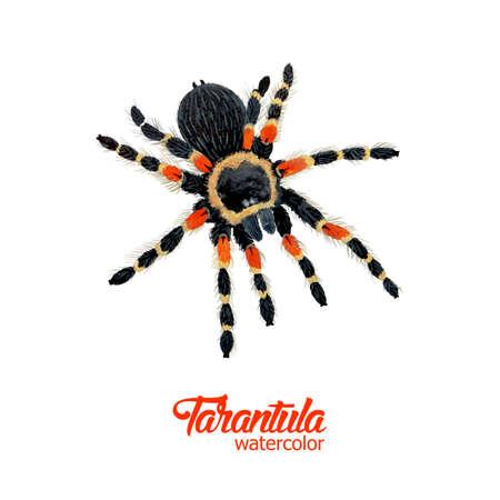 tarantula: Watercolor spider tarantula