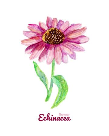 purpurea: Watercolor medicinal flower of echinacea Illustration