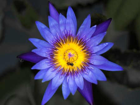 Paarse lotus met bijtje