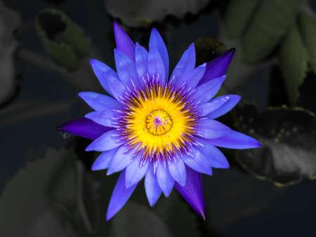 paarse lotus