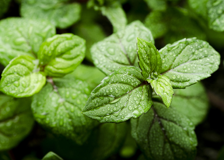 Green leaves of fresh fragrant mint with water drops close-up