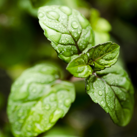 Green leaves of fresh fragrant peppermint with water drops close-up Banque d'images